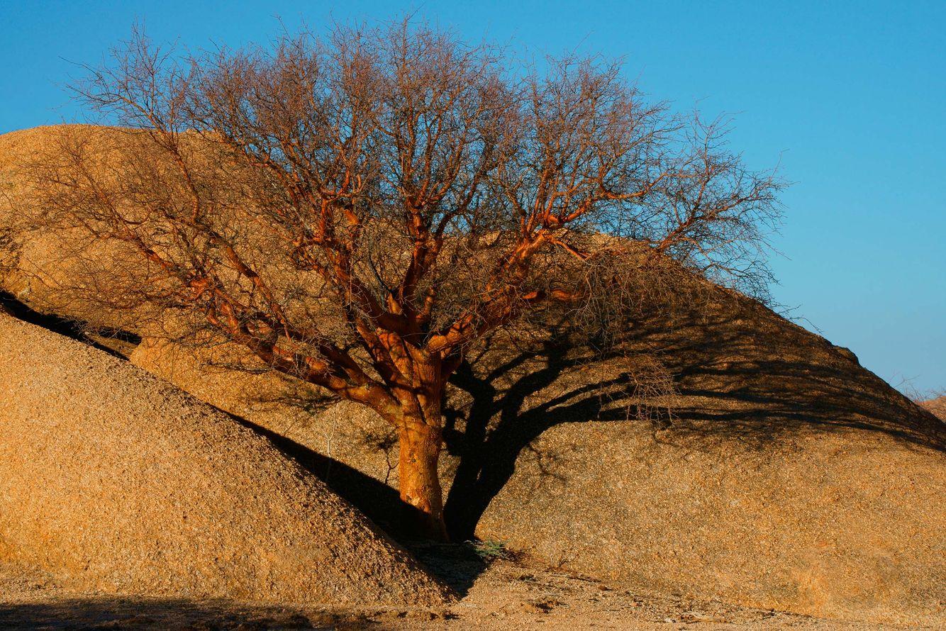 Spitzkoppe Tree