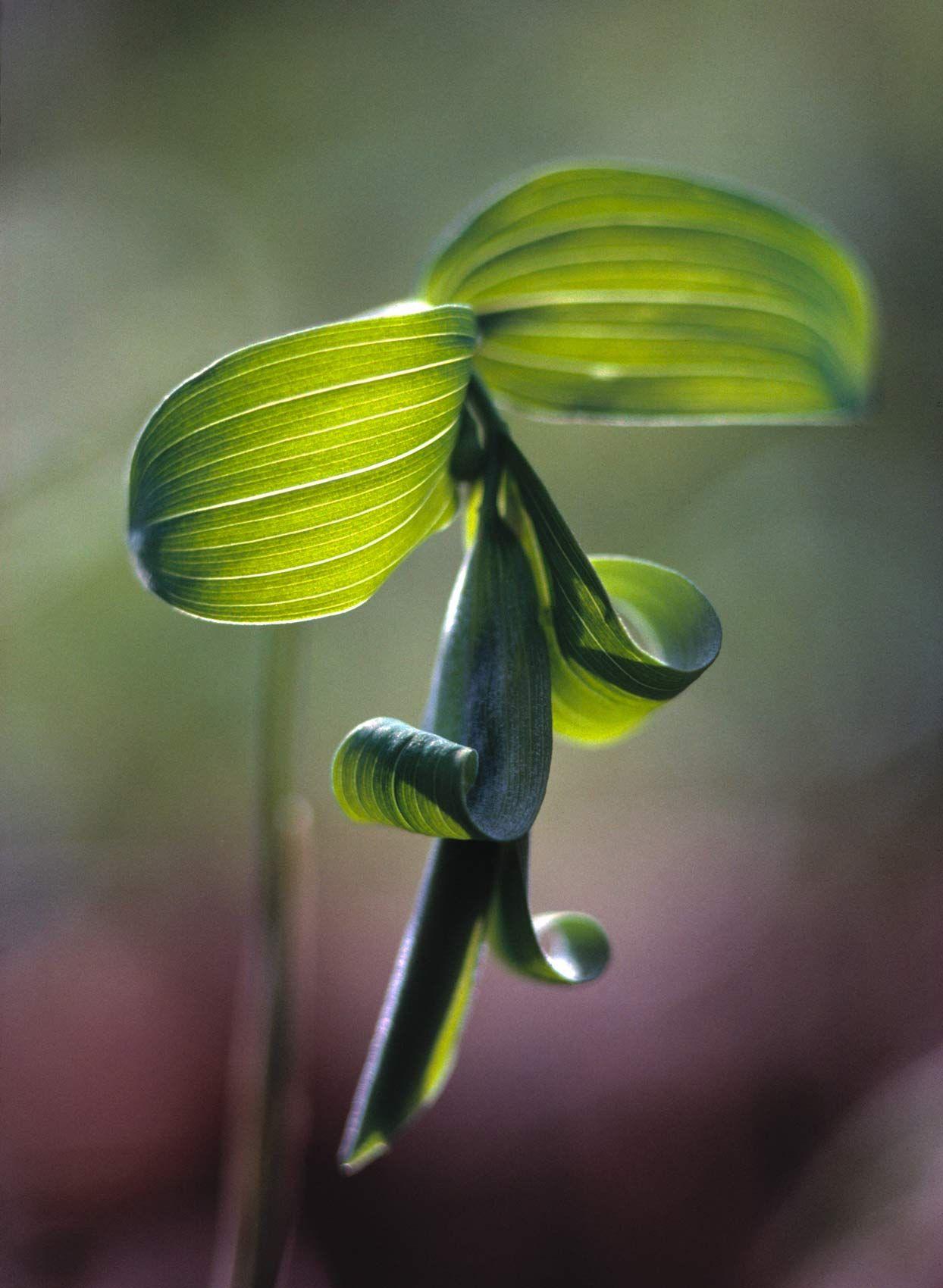 Bellwort Greens