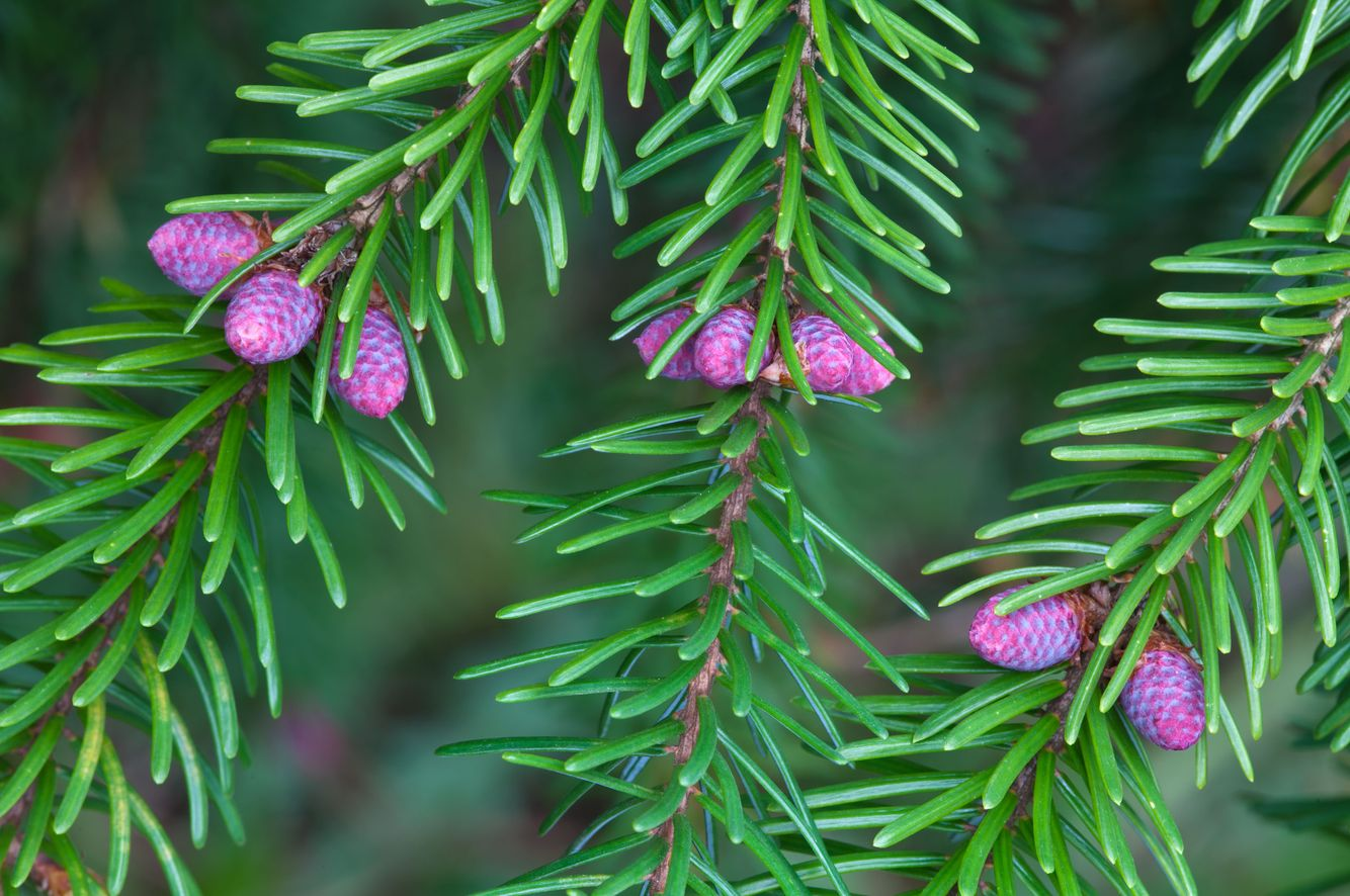 Spruce Needles in Husk