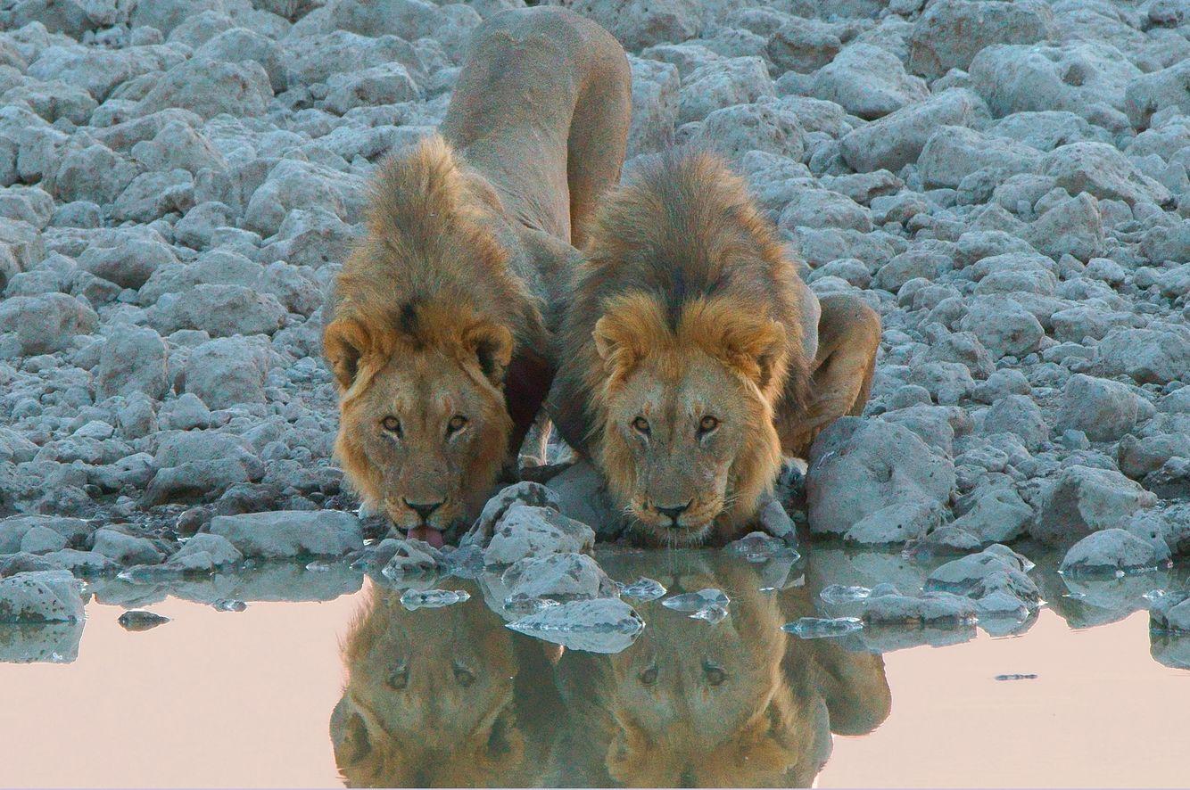 Lion Companions