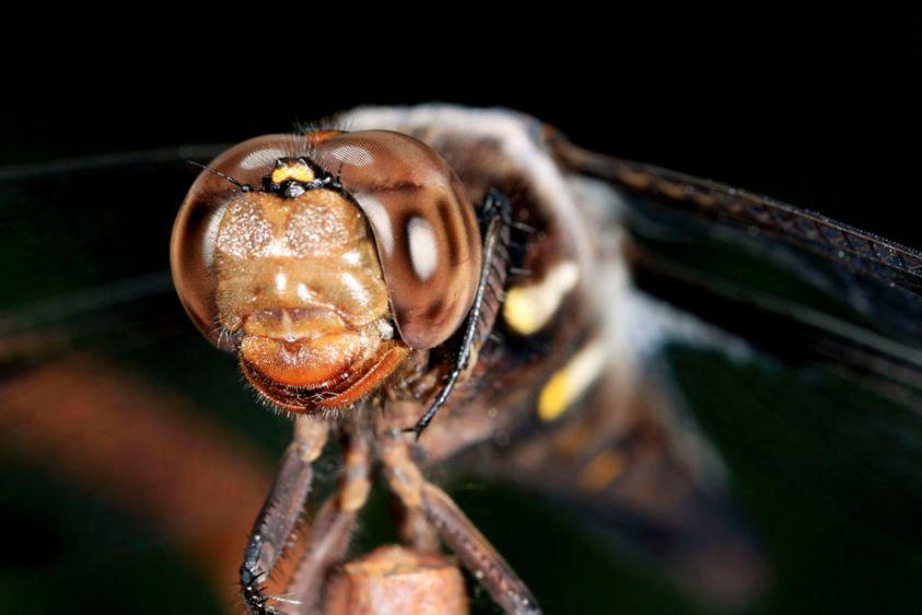 12-spotted Skimmer Dragonfly - Libellula pulchella