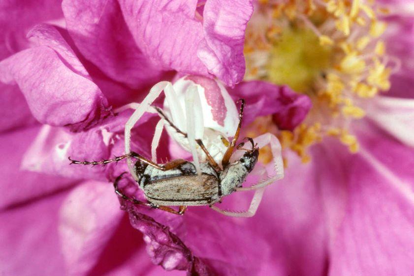 Goldenrod Crab Spider and Rose Chafer prey - Misumena vatia