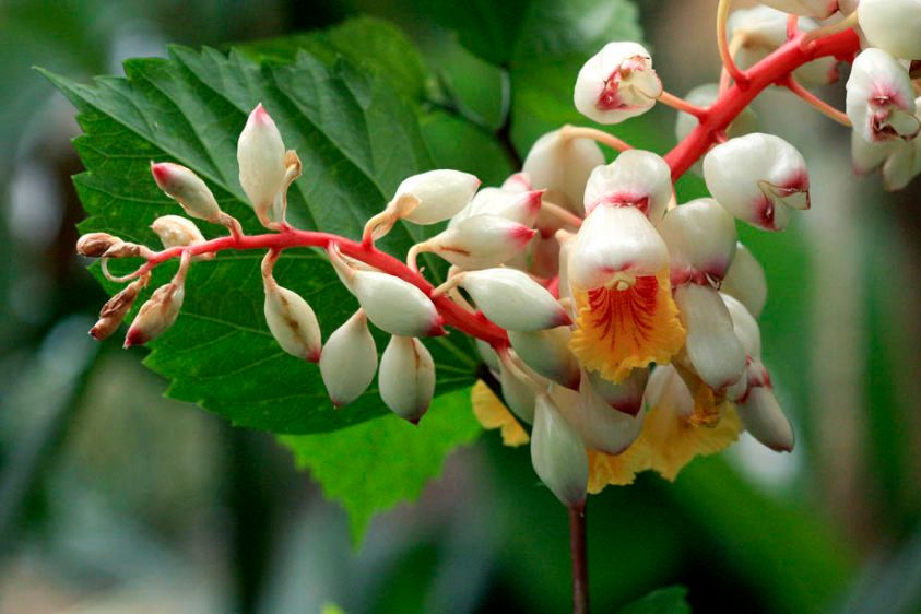 Shell Ginger - Alpinia zerumbet