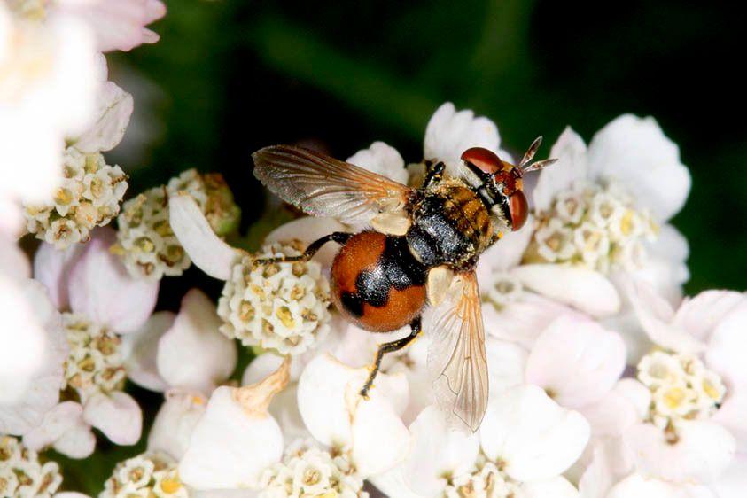 Tachinid Fly - Gymnosoma fuliginosa