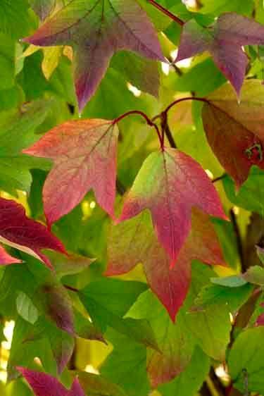 High Bush Cranberry 'Redwing' - Viburnum trilobum