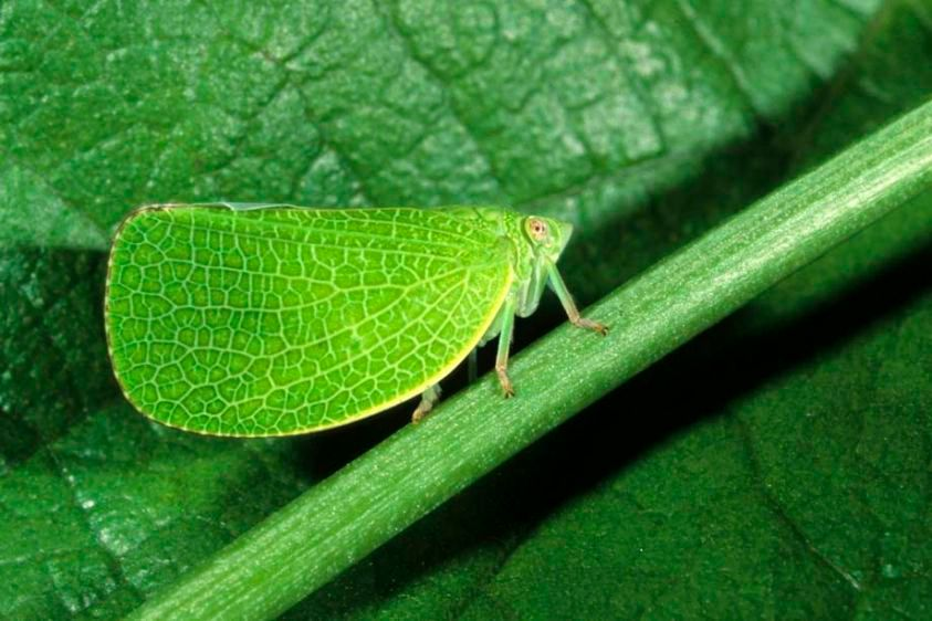 Acanalonid Planthopper - Acanalonia bivitata