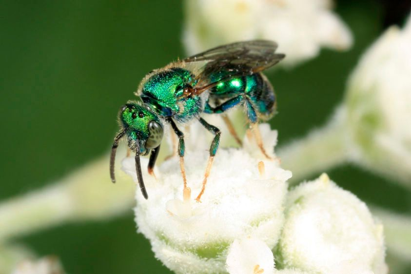 Sweat Bee - Augochloropsis metallica