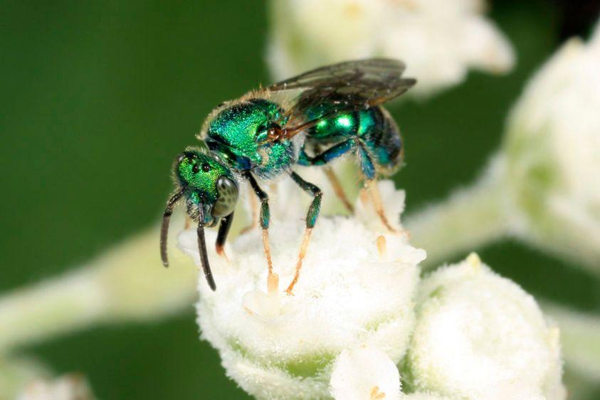 Sweat Bee - Augochloropsis metallica