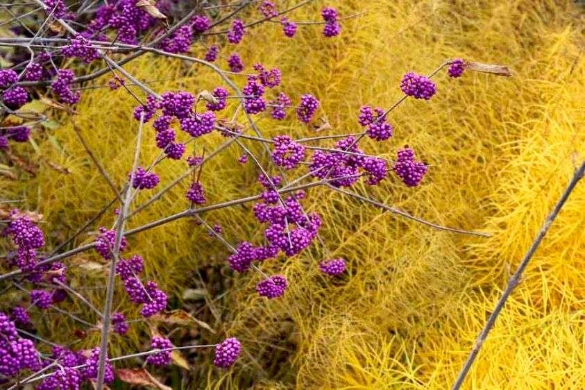 Beautyberry - Callicarpa bodinieri 'Profusion' and Amsonia hubrichtii