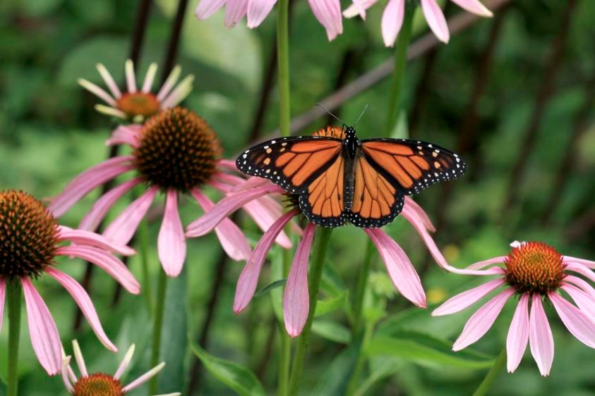 Monarch - Danaus plexippus - male