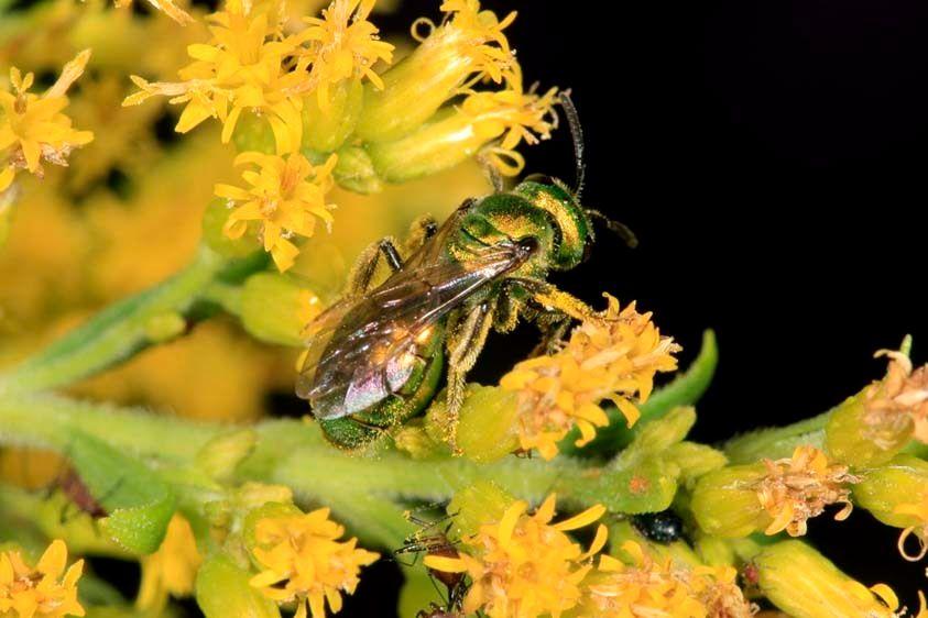 Sweat Bee - Augochlorella species