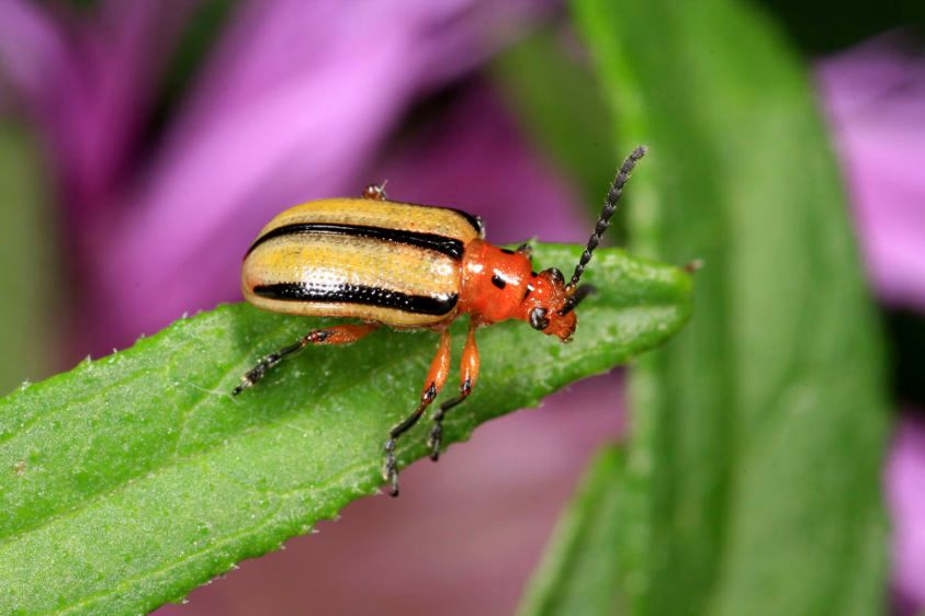 Three-lined Potato Beetle - Lema daturaphila