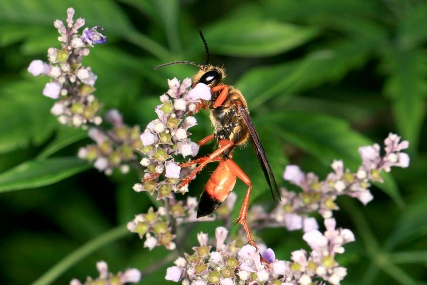 Golden Digger Wasp - Sphex ichneumoneus
