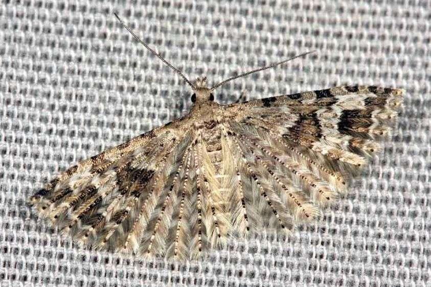 Six Plume Moth - Alucita hexadactyla
