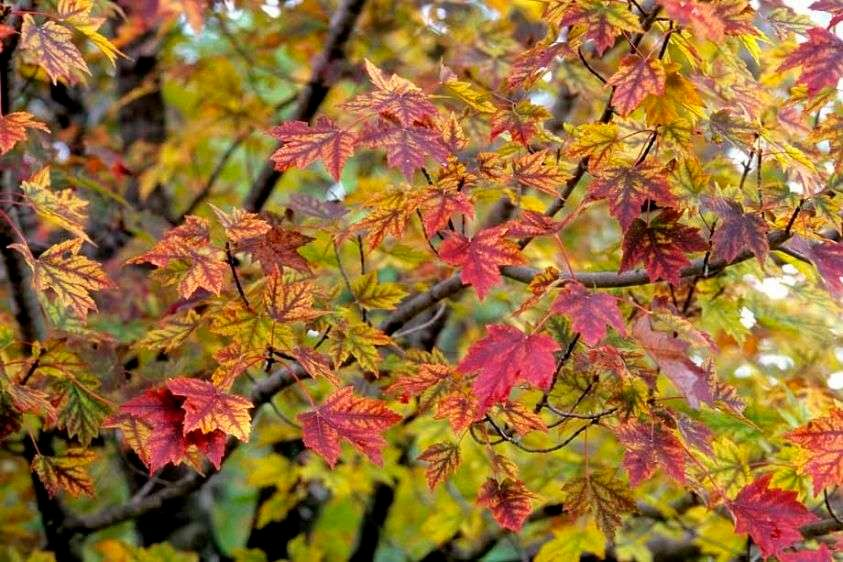 Red Maple 'Autumn Flame' - Acer rubrum