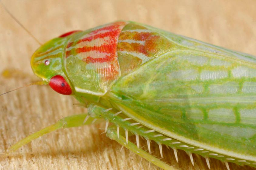Leafhopper - Gyponana octolineata