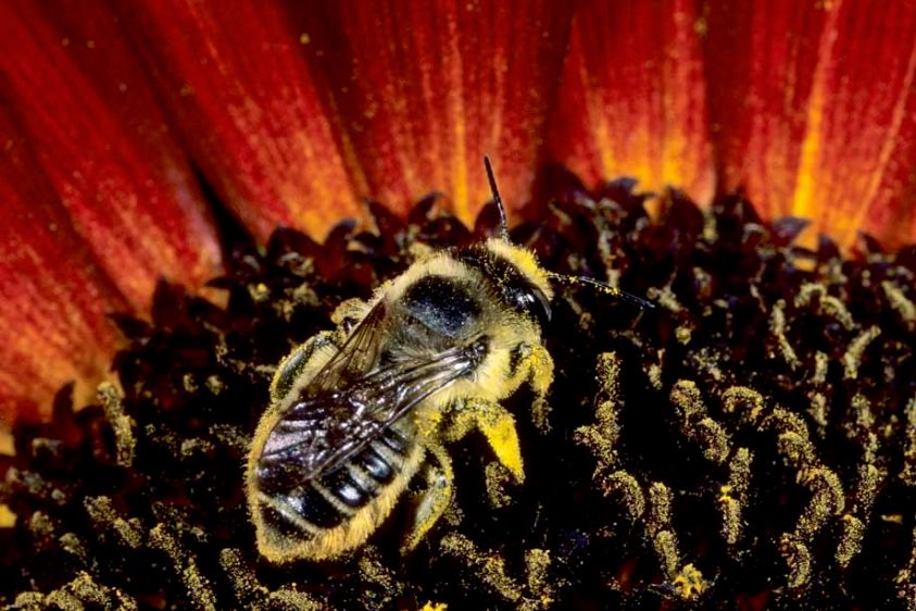 Leafcutter Bee - Megachile species