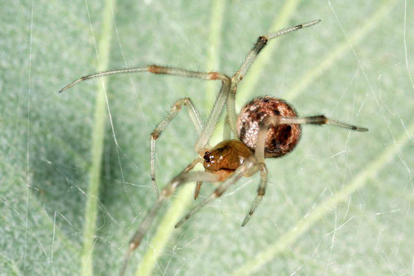American House Spider - Achaeranea tepidariorum