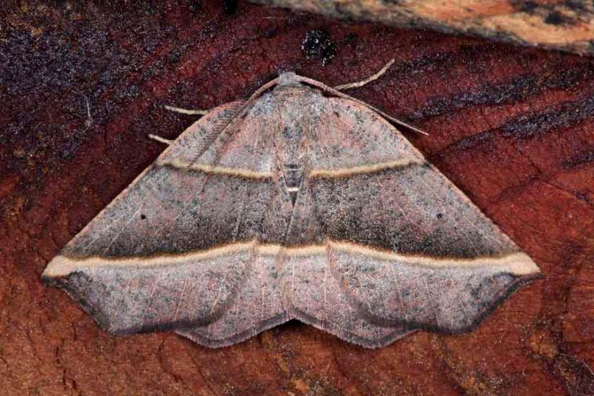Metanema Moth - Metanema determinata