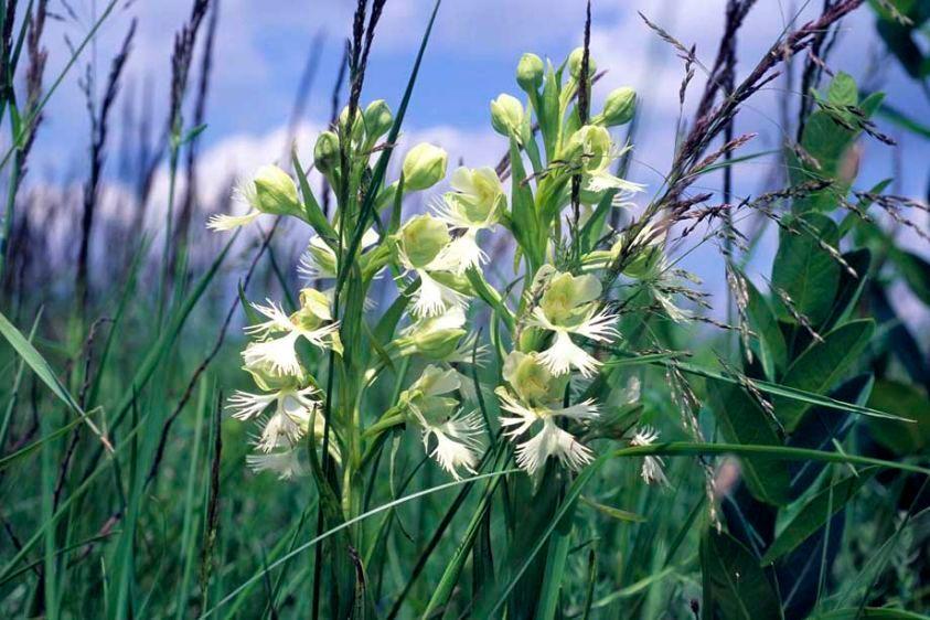 Western Prairie Fringed Orchid - Platanthera praeclara