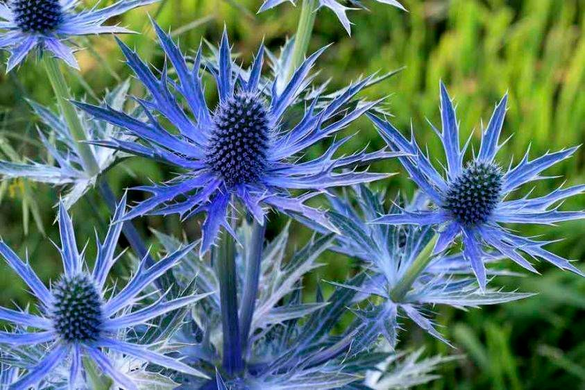 Sea Holly - Eryngium x zabellii 'Big Blue'