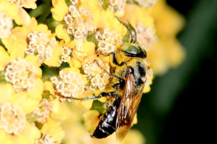 Crabonid Wasp - Tachytes species