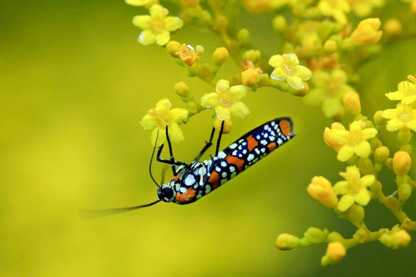 Ailanthus Webworm Moth - Atteva punctella