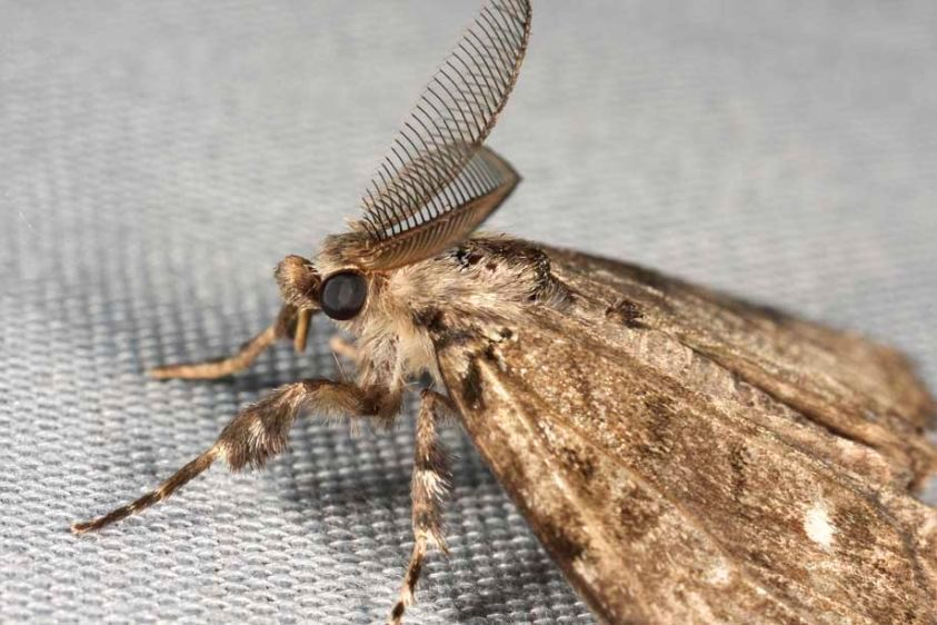 Moth - Noctuid species