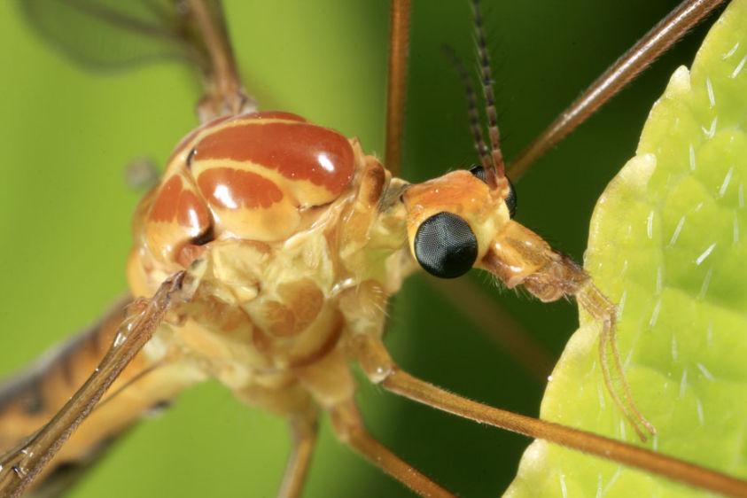 Crane Fly - Tipula species