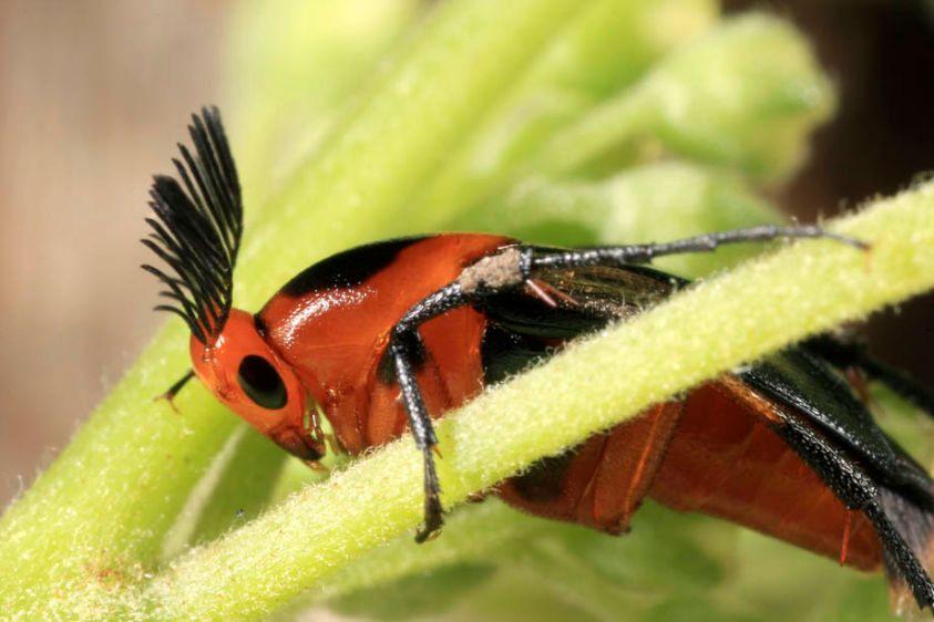 Wedge-shaped Beetle - Macrosaigon limbatum - male