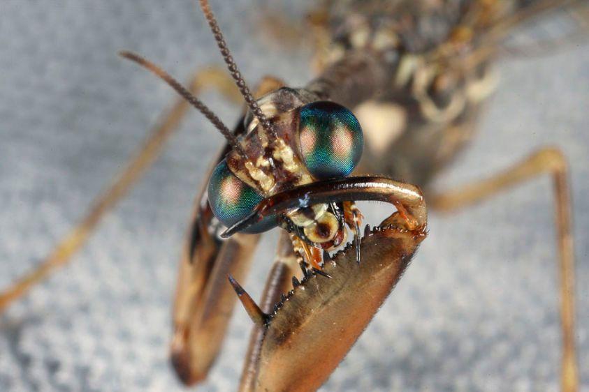 Mantidfly - Dicromantispa sayi