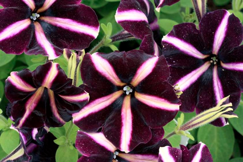 Petunia 'Pinstripe'