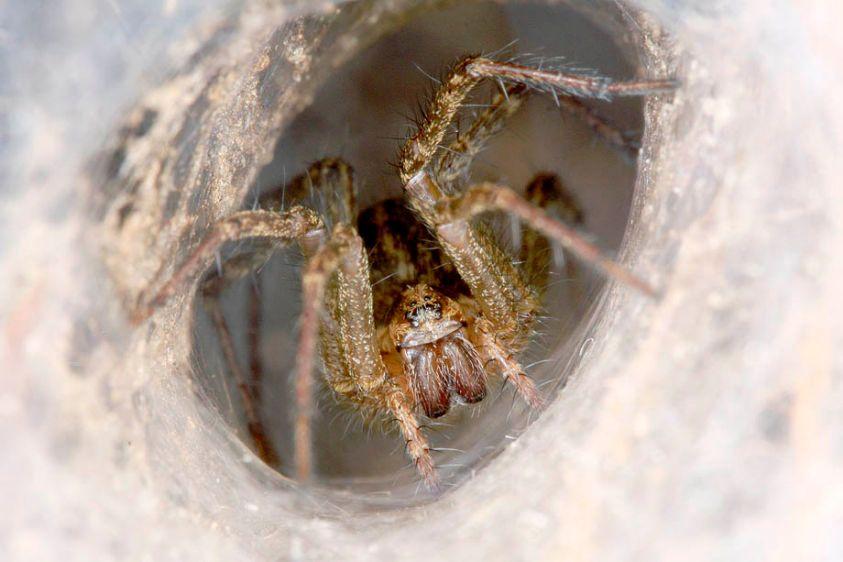 Funnel Weaver Spider - Agelenopsis species