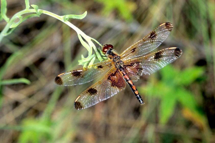 Calico Pennant - Celithemis elisa - male