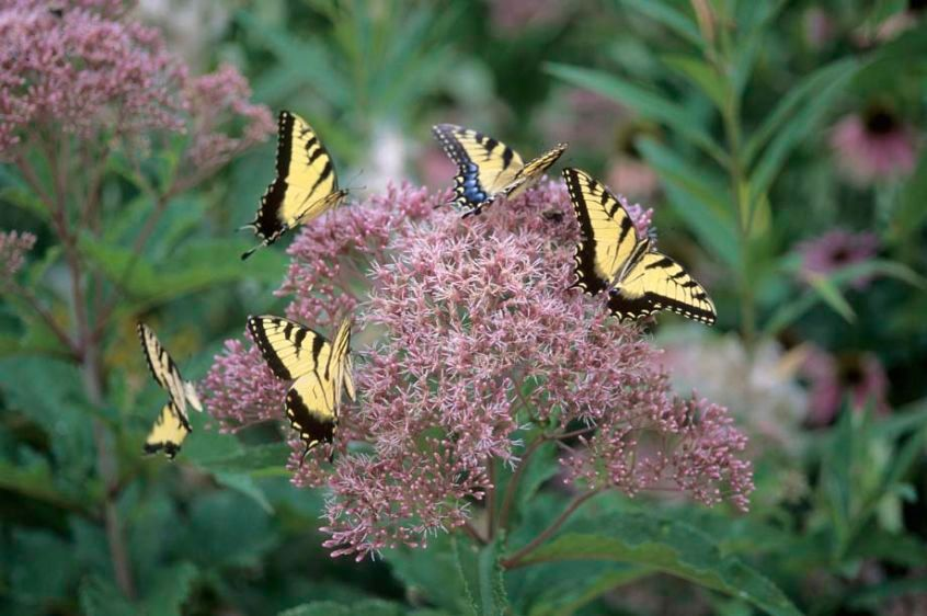 Tiger Swallowtails on Joe-Pye Weed - Papilio glaucus