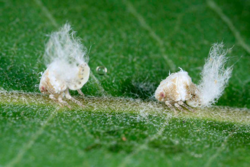 Acalonid Planthopper nymphs