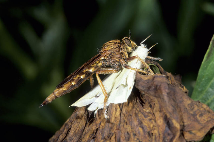 Robber Fly - Proctacanthus rufus and captured Cabbage Butterfly