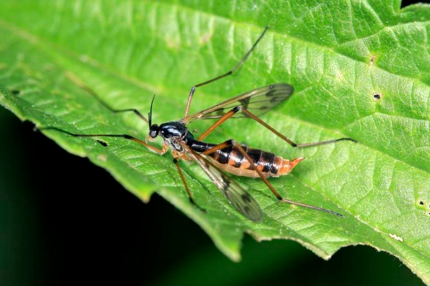 Phantom Crane Fly - Ptychoptera species