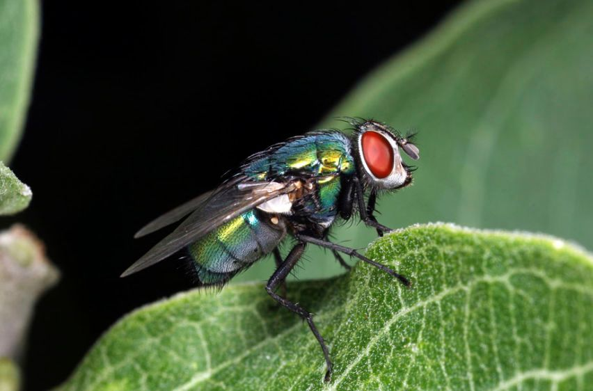 Green Bottle Fly - Phaenica sericata
