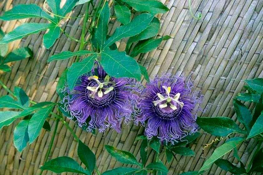 Passionflower - Passiflora incarnata