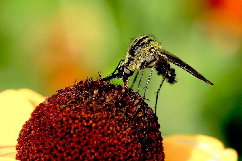 Parasitic Bee Fly - Lepidophora species