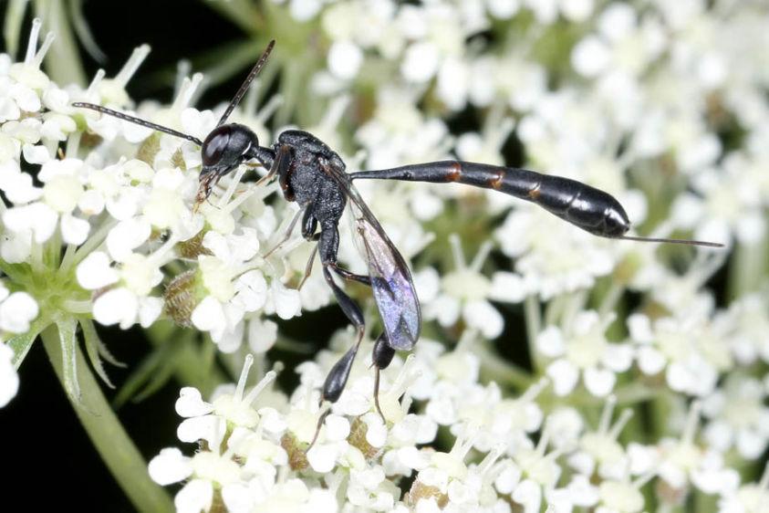 Gasteruptiid Wasp - Gasteruption species