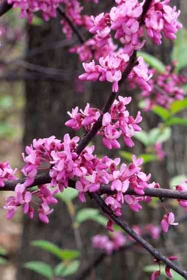 Eastern Redbud - Cercis canadensis