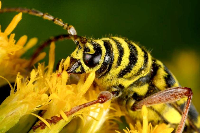 Locust Borer Beetle - Megacyllene robinae