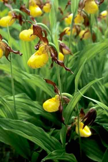 Small Yellow Lady's Slipper - Cypripedium calceolus var. parviflorum
