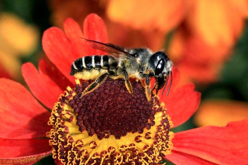 Leafcutter Bee - Megachile pugnata