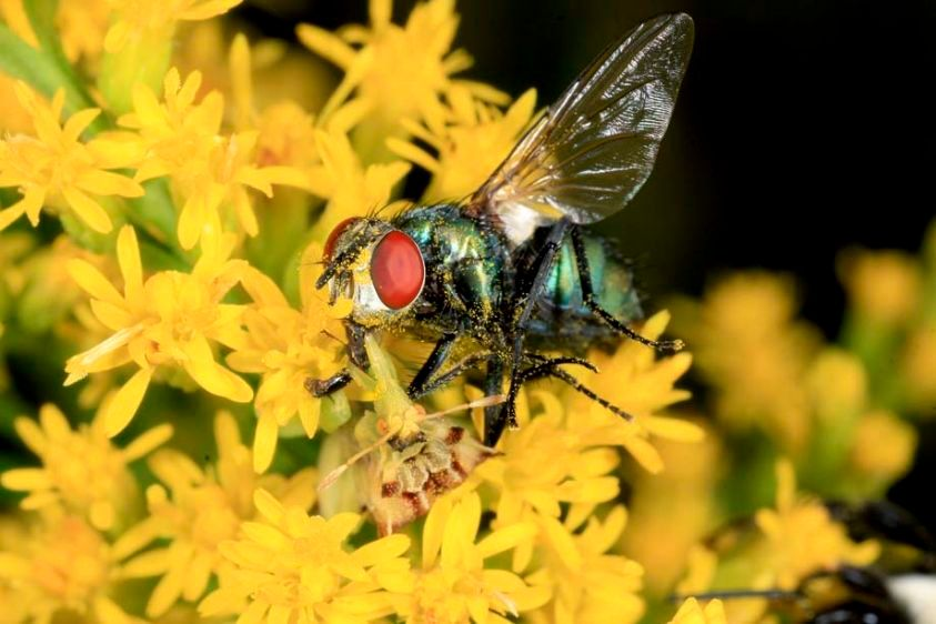 Ambush Bug and captured Green Bottle Fly