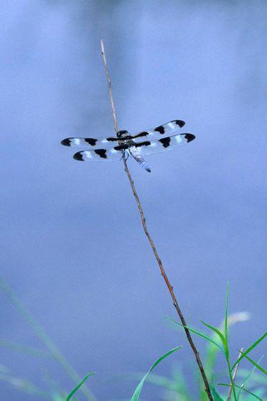 Twelve-spotted Skimmer Dragonfly - Libellula pulchella - male
