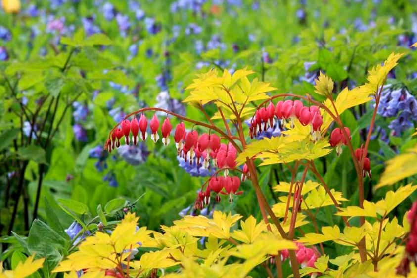 Dicentra spectabilis 'Gold Heart' - Bleeding Heart