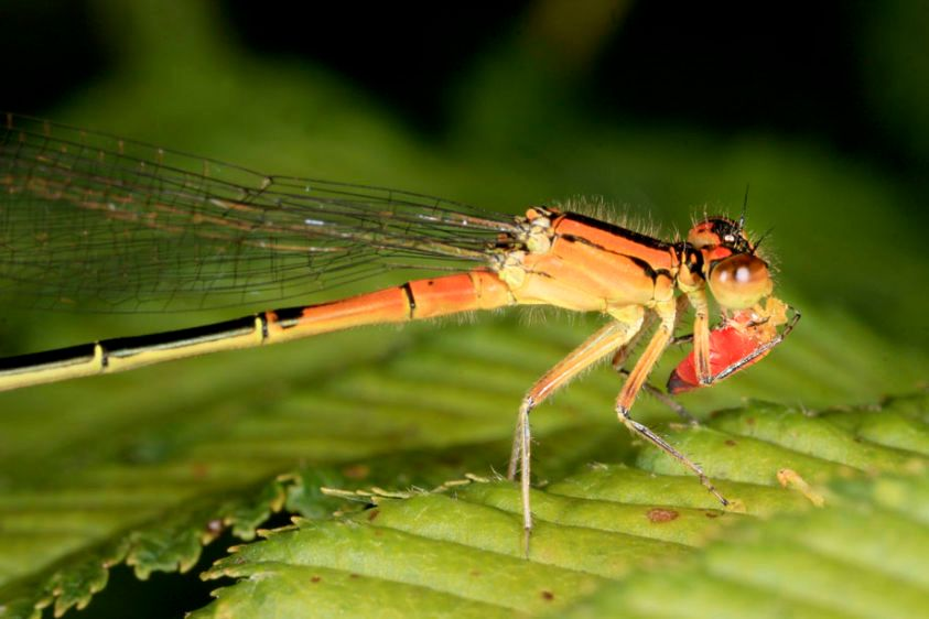 Eastern Forktail Damselfly - immature female - Ischnura verticallis and captured insect